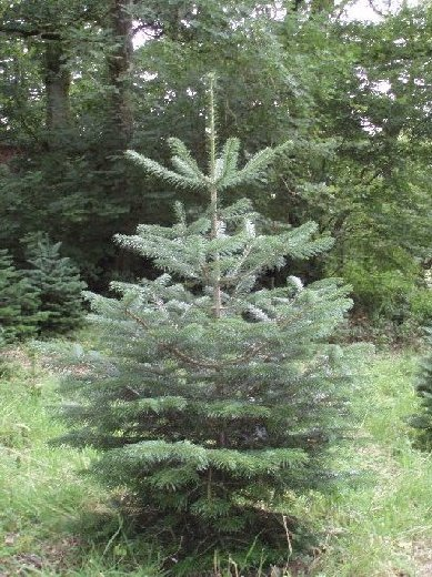 Christmas Trees From The Cefnllysgwynne Estate